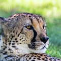 Cheetah by Ronald Hoehn