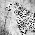 Cheetah by Tom Broadhurst