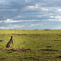 Cheetah Watch by Randy Gebhardt