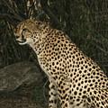 Cheetah Watching by Karen Zuk Rosenblatt