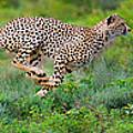 Cheetahs Acinonyx Jubatus Hunting by Panoramic Images