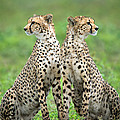 Cheetahs Acinonyx Jubatus In Forest by Panoramic Images