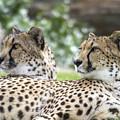 Two Cheetahs by Carolyn Fox