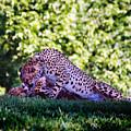 Cheetahs In Love by Steve Karol