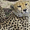 Cheetahs Resting by Perla Copernik