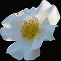 Cherokee Rose On Black by J M Farris Photography