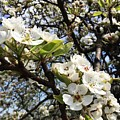 Pear Blossom by Georgescu George