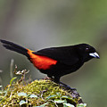 Cherrie's Tanager by Heiko Koehrer-Wagner