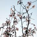 Cherry Blossom by Amanda Barcon