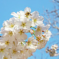Cherry Blossom And A Bee by Kay Brewer