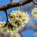 Pear Blossom And Bee by Anthony Evans
