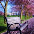 Cherry Blossom Bench by Darren White