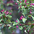 Cherry Blossom Blooms by Deborah  Crew-Johnson