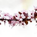 Cherry Blossom Branch by Iris Richardson