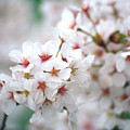 Cherry Blossom Close-up No. 6 by Karen Garvin