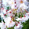 Cherry Blossom Closeup by Jeanette Oberholtzer