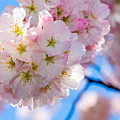 Cherry Blossom Closeup by SR Green