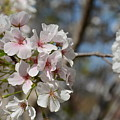 Cherry Blossom Cluster by Constance Woods