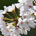 Cherry Blossom Cluster by Maria Urso