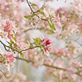 Cherry Blossom Delight by Kim Hojnacki