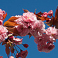 Cherry Blossom Flowers by Panoramic Images