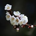 Apricot Blossom I by Joan Han