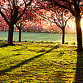 Cherry Blossom In A Park At Dawn by Panoramic Images
