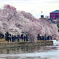 Cherry Blossom In Washington D C by William Rogers