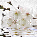 Cherry Blossom In Water by Elena Elisseeva