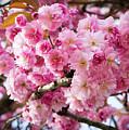 Cherry Blossom by Josephine Cleopahrt