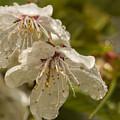 Cherry Blossom by Joy McAdams