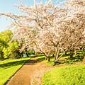 Cherry Blossom Lane by Jorgo Photography - Wall Art Gallery