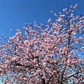 Cherry Blossom Pink And Blue Spring Colors by Matthias Hauser