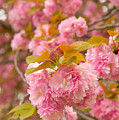 Cherry Blossom by Sebastian Musial