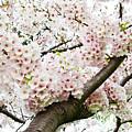 Cherry Blossom by Sky Noir Photography by Bill Dickinson