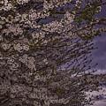 Cherry Blossom Sky by Pete Federico