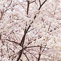Cherry Blossom Spring by Ariane Moshayedi