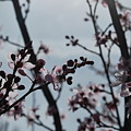 Cherry Blossom Transparency by Heather Kirk