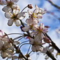 Cherry Blossom Tree by Svetlana Sewell