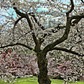 Cherry Blossom Trees Of Branch Brook Park 31 by Allen Beatty