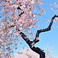 Cherry Blossom Trilogy II by Regina Geoghan