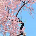 Cherry Blossom Trilogy IIi by Regina Geoghan