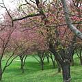 Cherry Blossom by Trish Hale