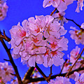 Cherry Blossoms 004 by George Bostian
