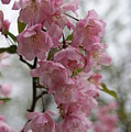 Cherry Blossoms 2 by Tina McKay-Brown