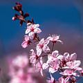 Cherry Blossoms 3 by Cameron Knudsen