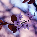 Cherry Blossoms by Alicia Fdez