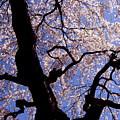 Cherry Blossoms by Ariane Moshayedi