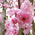 Cherry Blossoms Art Prints 12 Cherry Tree Blossoms Artwork Nature Art Spring by Baslee Troutman