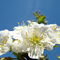 Cherry Blossoms Art White Spring Tree Blossom Baslee Troutman by Baslee Troutman